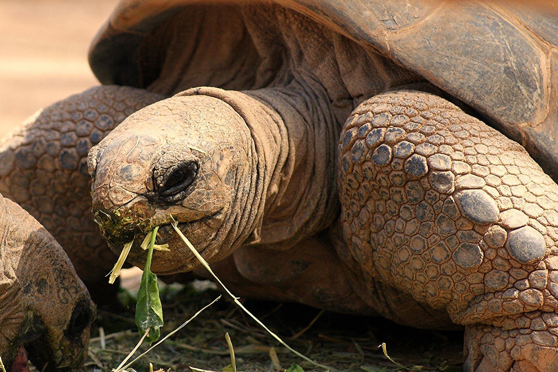Galapagos-tortuga